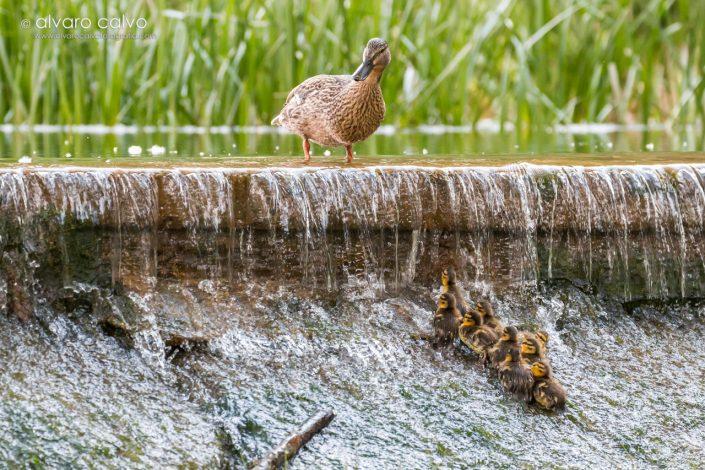 Pato común con sus crías ante un salto de agua