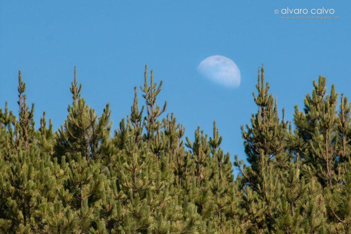 Pinar cántabro y luna