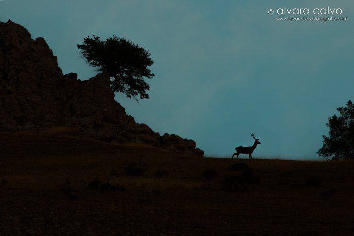 Ciervo salvaje en sierra de Urbión, La Rioja (España)