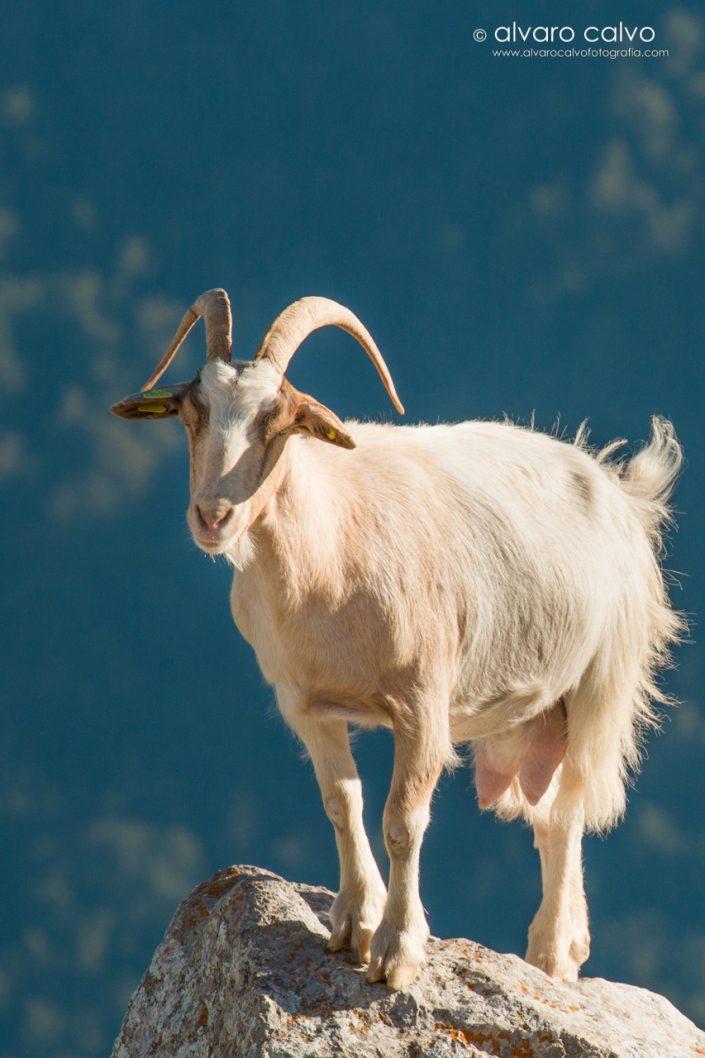 Cabra en Picos de Europa (Cantabria)