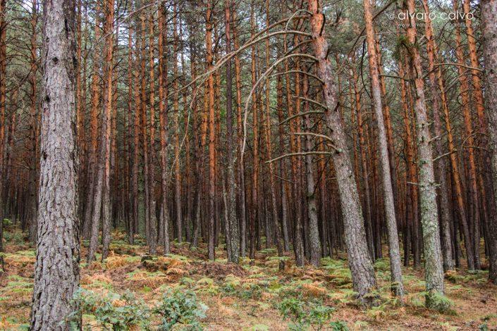 Bosque soriano