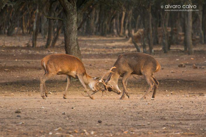 Ciervos en lucha