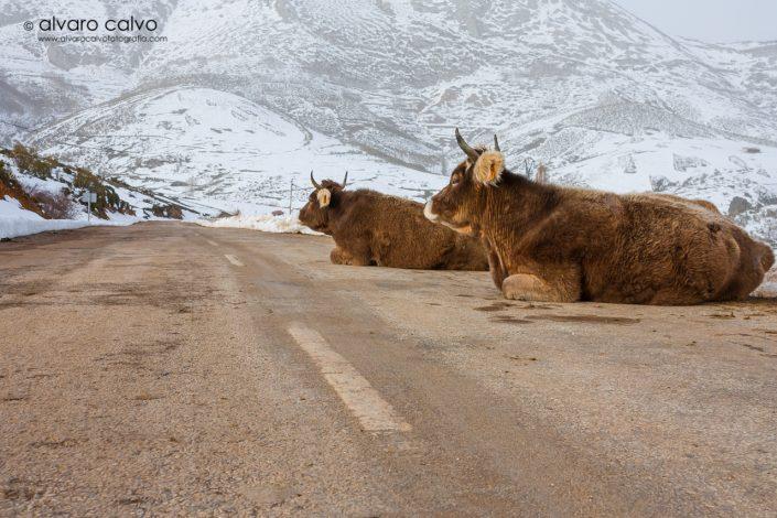 Vacas en la montaña palentina