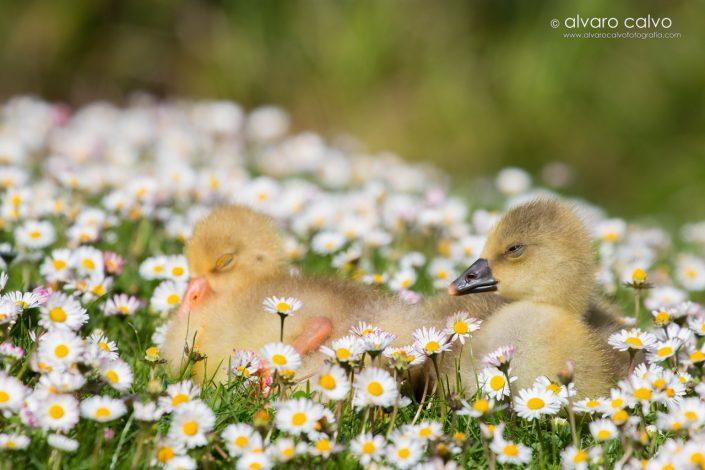 Crías de cisne en primavera