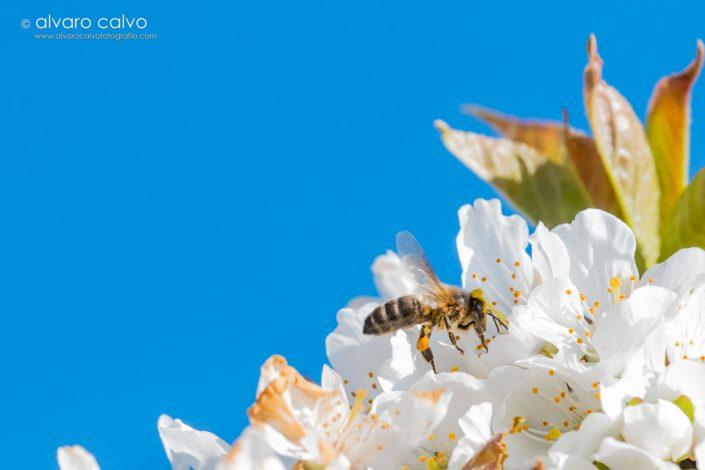 Abejas polinizando en primavera